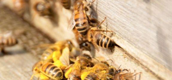 We zien hier een aantal bijen op de vliegplank voor de kast, een drukte van belang